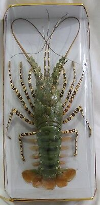 Spiny Lobster #1 Taxidermy Beautiful Condition in Display Box Rock Ocean Life
