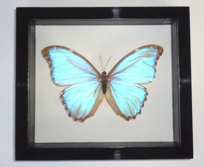 "Real Framed Butterfly Morpho Godarti Double Glass In A Black Frame 6.5""x7.5"""