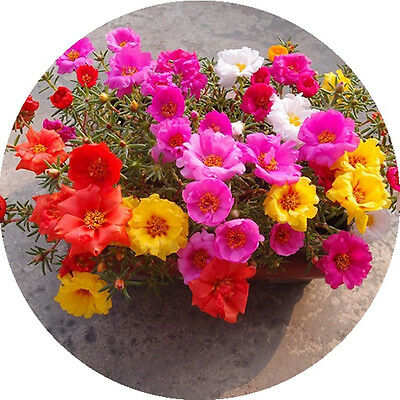 200 Sun Flower Seeds DIY Home Garden Plant So colorful homes A022