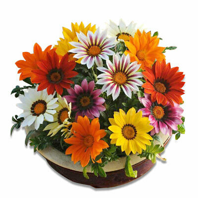 So colorful homes 20 Gazania  Mix Color Flower Seeds Easy to grow A029