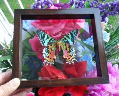 "Real Madagascar Sunset Moth Urania Ripheus Mounted Double Glass 6.5""x7.5"""
