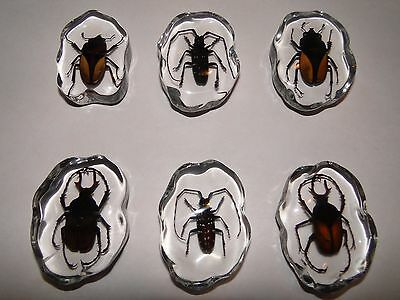 Real insects in Lucite (beetles)