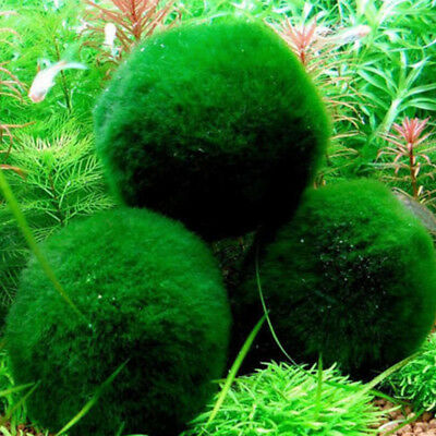 New 3-4cm Marimo Moss Ball Cladophora Live Aquarium Plant Fish Tank Shrimp Nano