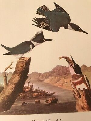 """Audibon Full Color 9X12"""" Lithograph Print Belted Kingfisher"""