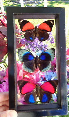 "3 Real Framed Butterflies Double Glass In A Black Frame 4.5""x8.5"" W0W Special"