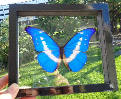 "Real Framed Butterfly** Morpho Helena** Double Glass 6.5""x7.5"" Inches Amazing"