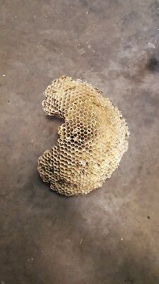 "Large Real Paper Wasp Nest Texas 10"" long 8"" wide"
