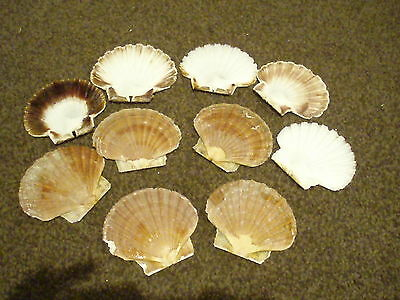 14 scallop flat shells from Devon, art,craft, garden