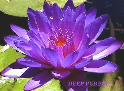 WATER LILY SEEDS * Deep Purple * POND PLANTS *