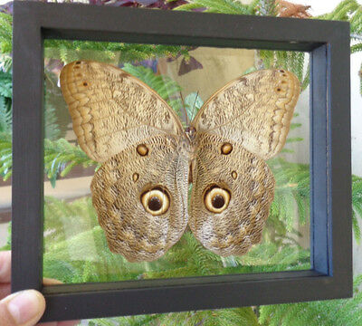 "Real Framed Peruvian Caligo** Owl Eye** Mounted In A Double Glass 6.5""x7.5""inche"