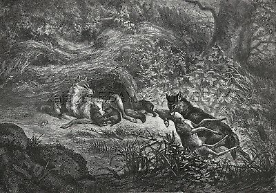 Wolf Pack Family, Bringing Home a Deer Meal, Large 1870s Antique Engraving Print
