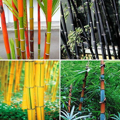 100Pc Phyllostachys Pubescens Moso-Bamboo Seeds Garden Plants Black Tinwa Color