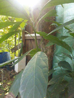 Avocado Plant - Organic Permaculture Perennial : Healthy Self Sufficient Edible