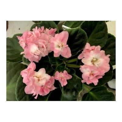 January Saintpaulia African Violets Collection of 5 Pot Plant Rare Exotic