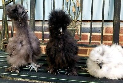 1 egg or more , SOP and Designer Silkie hatching eggs. Npip.