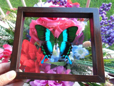 Real Framed Butterfly Papilio Blumei (Indonesian) Mounted Double Glass Amazing