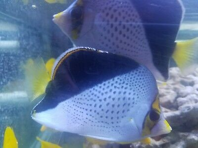 """Pair of Large Live SaltwaterFish 4.5-5"""" TINKERINI BUTTERFLY WYSIWYG FREESHIPPING"""