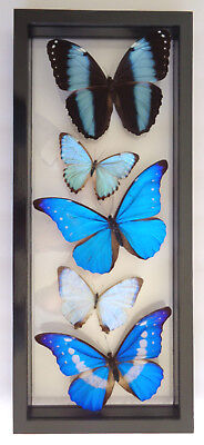 5 Real Butterflies Framed Blue Morpho Collection Mounted Double Glass