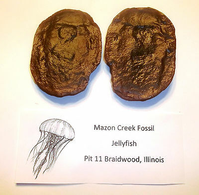 Mazon Creek Fossils Jellyfish Pit 11 Complete Excellent Detail