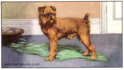 DOG Brussels Griffon, 70-year-old Trading Card, 1930s