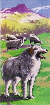 DOG Great Pyrenees Pyrenean Mountain Dog, 1970 Trading Card 40+ Years Old