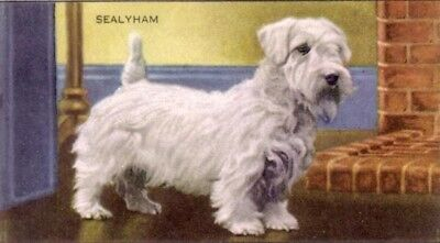 DOG Sealyham Terrier, 70-year-old Trading Card, 1930s