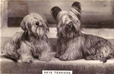 DOG Skye Terrier, Trading Card, Real Photo, 1930s