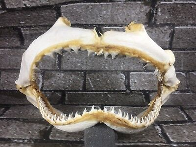 "LARGE REAL SHARK jaw sharks jaws teeth tooth skull 12"" fish mount taxidermy"