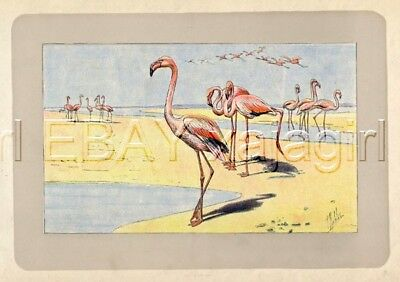 BIRD Flamingo Flammant, Rare Antique 100-Year-Old French Bird Print-- Nice