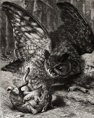 Bird Owl Catching A Rabbit or Hare, Dramatic Large 1880s Antique Print