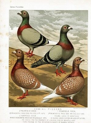 Bird Pigeon Homing Pigeon Champions, Owner & Trainer ID'd, Antique 1880s Print