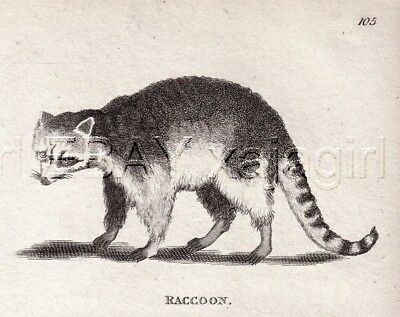 RACCOON, Very Rare 1803 Antique Engraving Print (200+ Years Old)