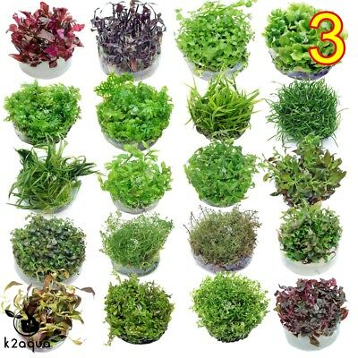 Live Aquarium Plants IN VITRO 3 Aquatic Tropical Fish Aquascaping Carpet InVitro