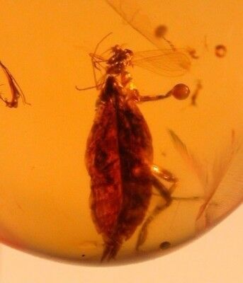 Planthopper with Fly on Its Head in Burmite Amber from Cretaceous Dinosaur Age!