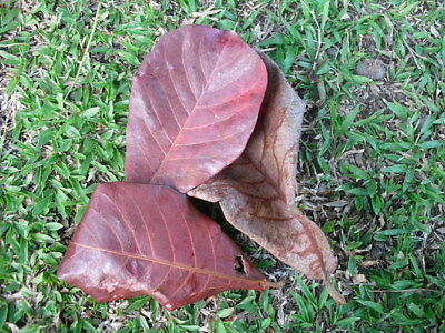 New 20g Premium INDIAN ALMOND CATAPPA LEAVES  betta plec Almond leaves Indian Be