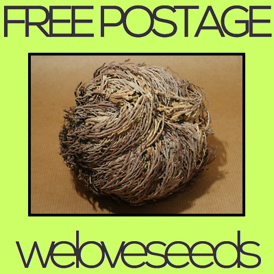 LOCAL AUSSIE STOCK - Rose Of Jericho, Anastatica Flower Seeds ~5x FREE SHIPPING