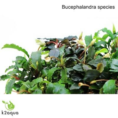 Bucephalandra species - Live Aquarium Plants Terrarium Tropical Aquascaping RARE