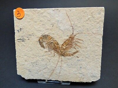 Two Shrimp Fossil in Matrix from Lebanon with display stand 99 - 93 MYO