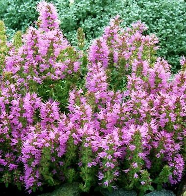THYMUS COMOSUS, TUFTED THYME 50 seeds