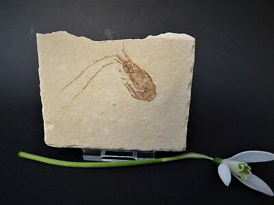 Shrimp Fossil in Matrix  from Lebanon with display stand 99- 93 MYO