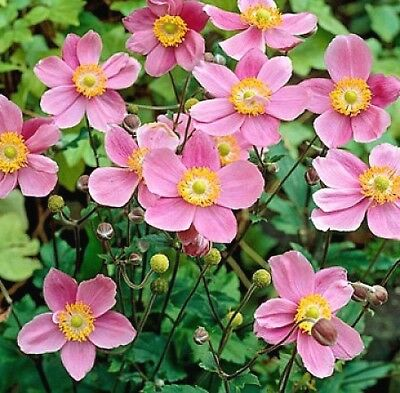 """ANEMONE JAPONICA """"ROSE BEAUTY"""", JAPANESE ANEMONE 30 special seeds"""