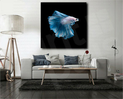 Blue Betta Fish Black Background Canvas Art Poster Print Home Wall Decor