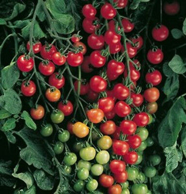 "19 finest seeds tomato cherry ""super sweet 100"""