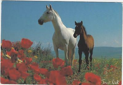 Horse Postcard- Tomas Micek -Grey Mare and Foal