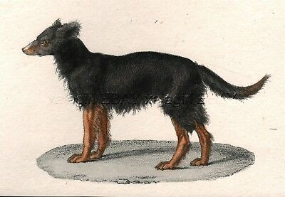 Dog Belgian Shepherd Chien de Berger, 1830 Hand-Colored Copper Engraving Print