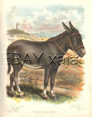DONKEY Very Large Quality 100 Year Old Antique Print