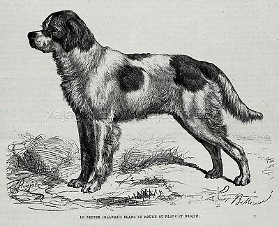 Dog Irish Red and White Setter (Breed Named), 1870s Antique Engraving Print