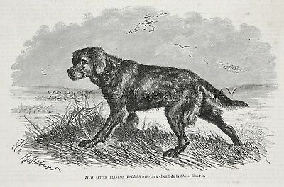 Dog Irish Setter NAMED, Kennel ID'd, 1870s Antique Engraving Print