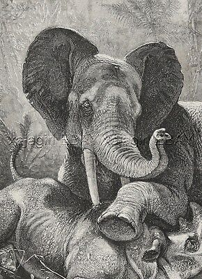 Elephant Versus Rhinoceros in Mortal Combat, Large 1880s Antique Print & Article