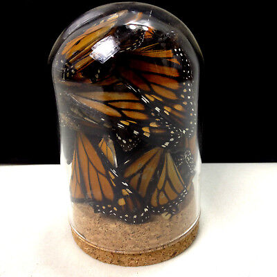 Glass Dome Butterfly Display